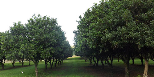 FNC Plantations - Kennedys Lane Macadamia Orchard